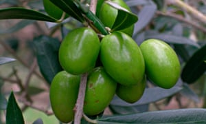 Green olives hanging on a branch