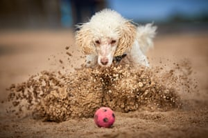 Judges' mention, Dogs at Play: Ted, a miniature poodle