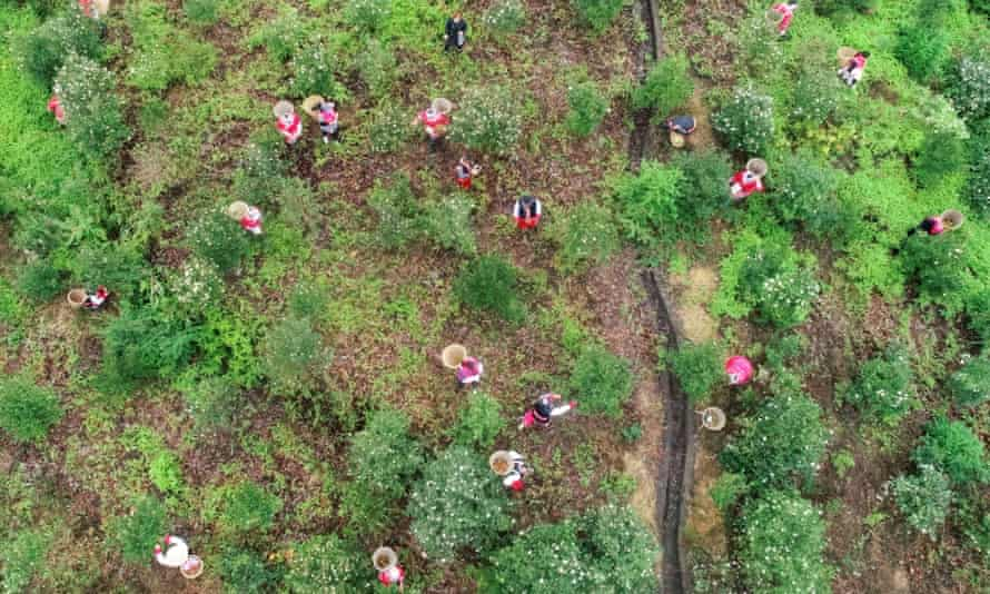 People pick camellia seeds in Chongqing, China. The tree is among 890 species identified as being at risk in the country.