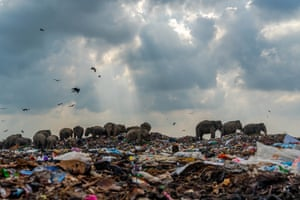 The winners of the 2020 The Royal Society of Biology photography competition were announced this week . Photograph Of The Year went to 'Dangerous garbage-eating elephants' by Tilaxan Tharmapalan in Ampara District, Sri Lanka.