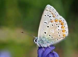 Common blue in my Taunton garden in July.