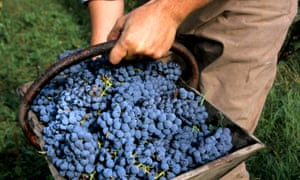Grape stuff: a winegrower and his precious harvest in Bordeaux.