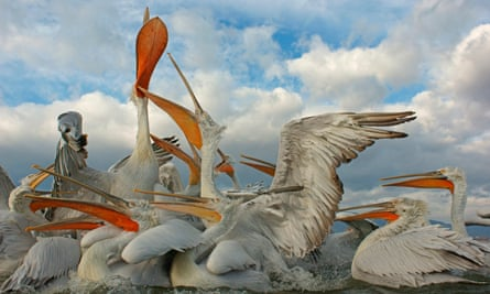Dalmatian Pelicans (Pelecanus crispus), group competing for fish discarded by fishermen, Lake Kerkini, Central Macedonia, Greece