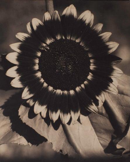 A Bee on a Sunflower by Edward Steichen.