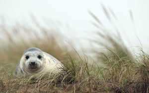 A grey seal pup on the beach at Blakeney Point in Norfolk