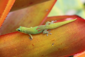 A gold dust day gecko on an agave plant, Big Island, Hawaii.