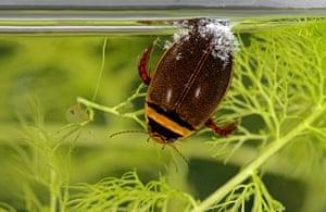 Graphoderus cinereus diving beetle