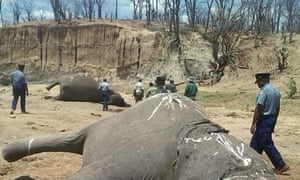 A group of elephants, believed to have been killed by poachers, lie dead at a watering hole in Zimbabwe's Hwange National Park in October 2015