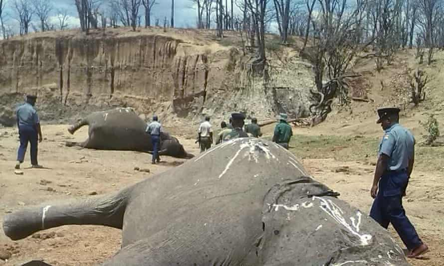 A group of elephants, believed to have been killed by poachers, lie dead in Zimbabwe's Hwange national park.