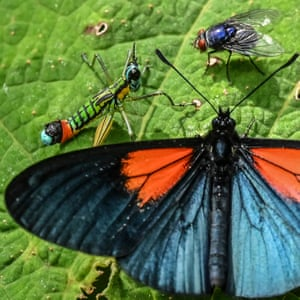An Altinote ozoneme butterfly is pictured in Jardin, Antioquia department, Colombia