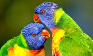 Rainbow lorikeets are among the most common backyard birds in Australia. They were placed eighth in the Australian bird of the year poll on Thursday night.