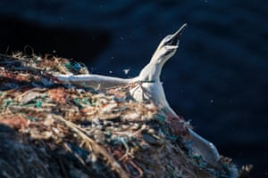 A gannet hangs from a cliff, entangled in plastic fibres at RSPB Grassholm Island, Wales, UK
