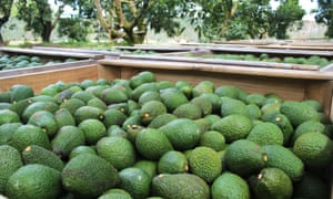 The lucrative avocado crop