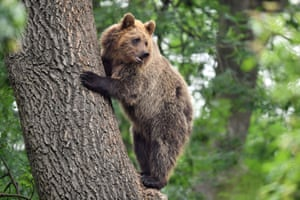 A bear climbs a tree at Bear Wood, a new enclosure at Bristol zoo's Wild Place project