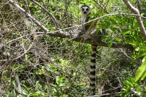 A lemur at the Isalo national park in the Ihorombe region of Madagascar