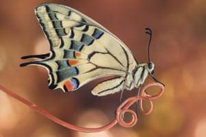 Butterflies and moths category winner: Swallowtail by Sara Jazbar
