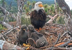 Two bald eagle chicks with a parent on a nest in the Angeles National Forest near Big Bear in southern California, USA