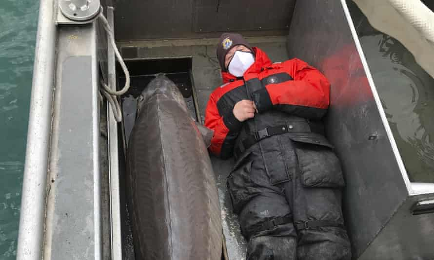 A USFWS staffer lies next to the 240lb sturgeon.
