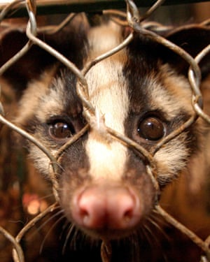 Civet cat in a cage