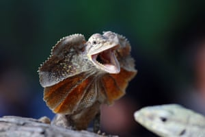 A frilled dragon displays its threatening posture in Batam, Indonesia