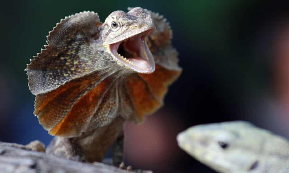 A frilled dragon in Batam, Indonesia.