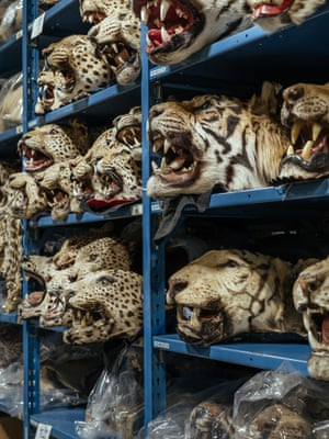 Image by Tristan Spinski @tspinski. 'Tiger, leopard and other big cat trophies, in the National Wildlife Property Repository, a warehouse on the outskirts of Denver packed with illegal animal parts and products ... Many are made of threatened or endangered species ... Most is contraband, seized at major ports of entry around the United States. Collectively, the facility and the 1.3 million products within its walls represent an evidence vault. One that testifies to an economy serving the human appetite for other species.'