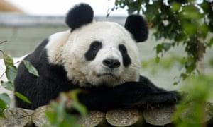 Edinburgh zoo's giant panda, Tian Tian.