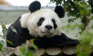 Tian Tian became pregnant at Edinburgh Zoo.