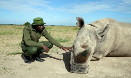 A Northern white rhino, shown on BBC One's Extinction: The Facts