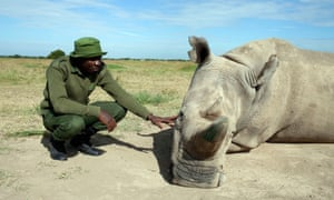 One of only two northern white rhinos left in existence