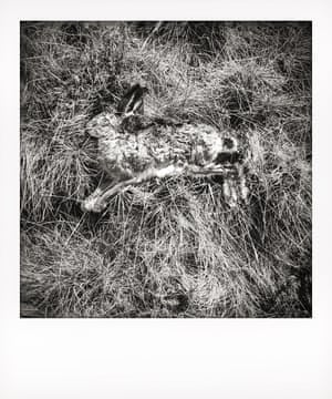The body of a dead hare