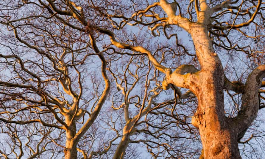 London plane trees.