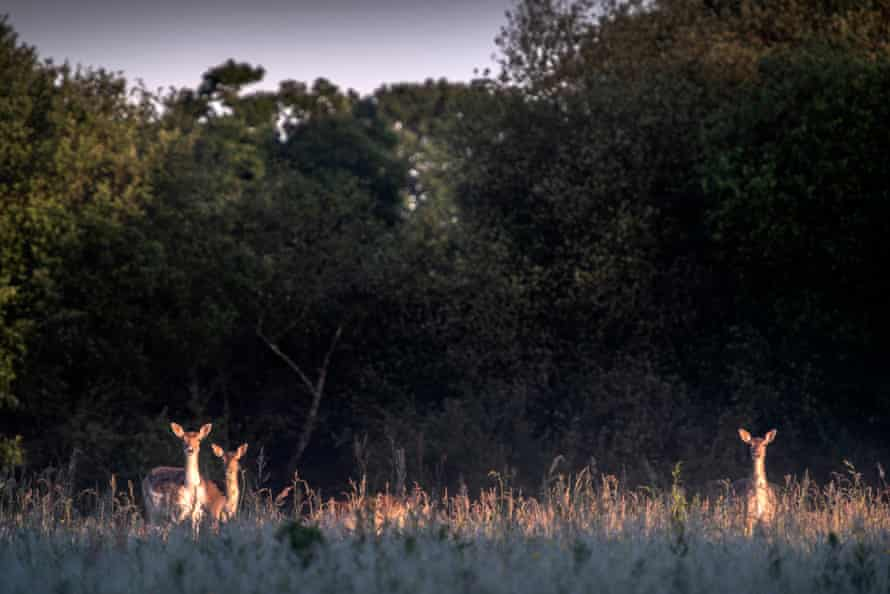 Fallow deer in the early morning mist on the Knepp estate