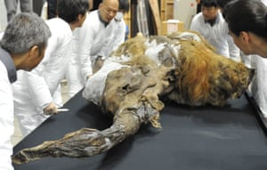 A 39,000-year-old female baby woolly mammoth from the Siberian permafrost. Permafrost preserves DNA for thousands of years.