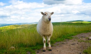 Choosing lamb means the animal is almost certain to have been grass-fed and free range, as sheep are not factory farmed in the same way as pigs or chickens.