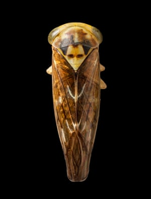 Leafhopper, Dracula bug