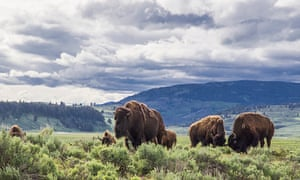 American bison in Lamar Valley, Yellowstone national park, Wyoming, US.