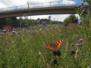 Small Tortoiseshell butterfly urban near the M8 motorway, Glasgow Cath Scott (2)