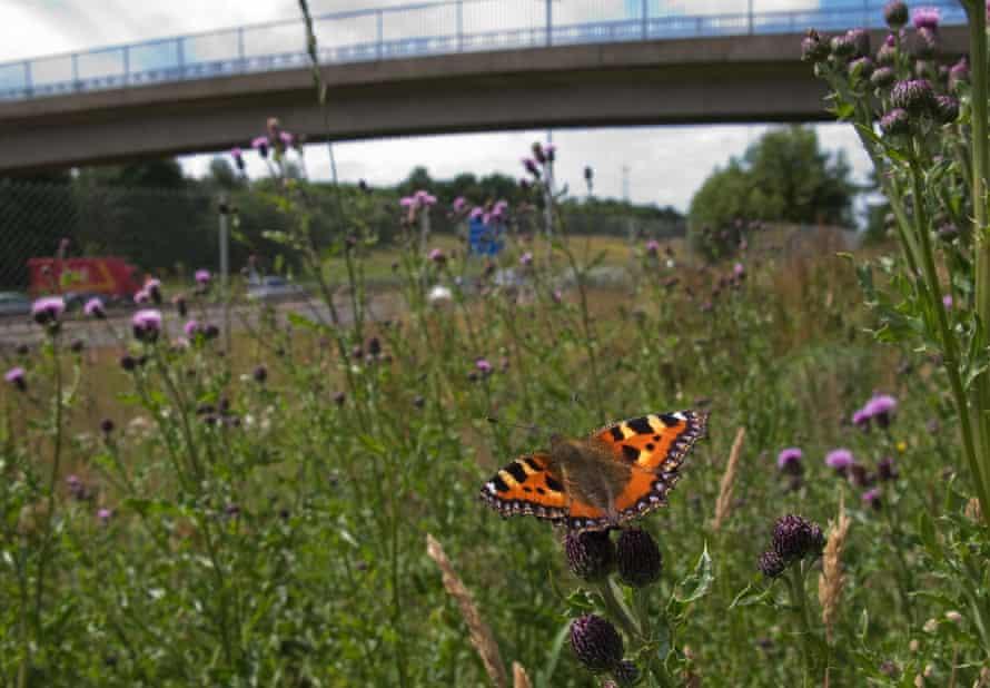 A small tortoiseshell butterfly near the M8 motorway, Glasgow.