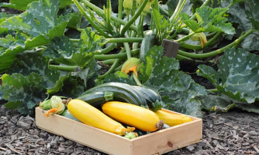 Freshly harvested courgette 'Green bush' and yellow 'Soleil' variety in an English kitchen garden