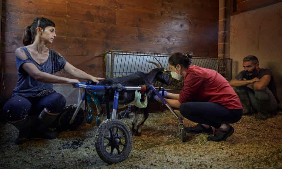 Juana the goat on a wheelchair at the Gaia animal sanctuary in Spain