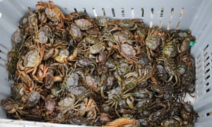 As the Gulf of Maine warms, the invasive green crab has destroyed habitats and the soft-shell clam population.