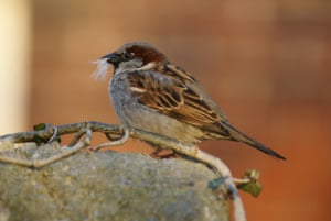 A very busy House Sparrow.Earlier this spring I got lucky and close to this busy Sparrow.