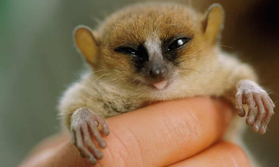Berthe's mouse lemur, the world's smallest known primate, lives only in two small areas of dry forest in western Madagascar.