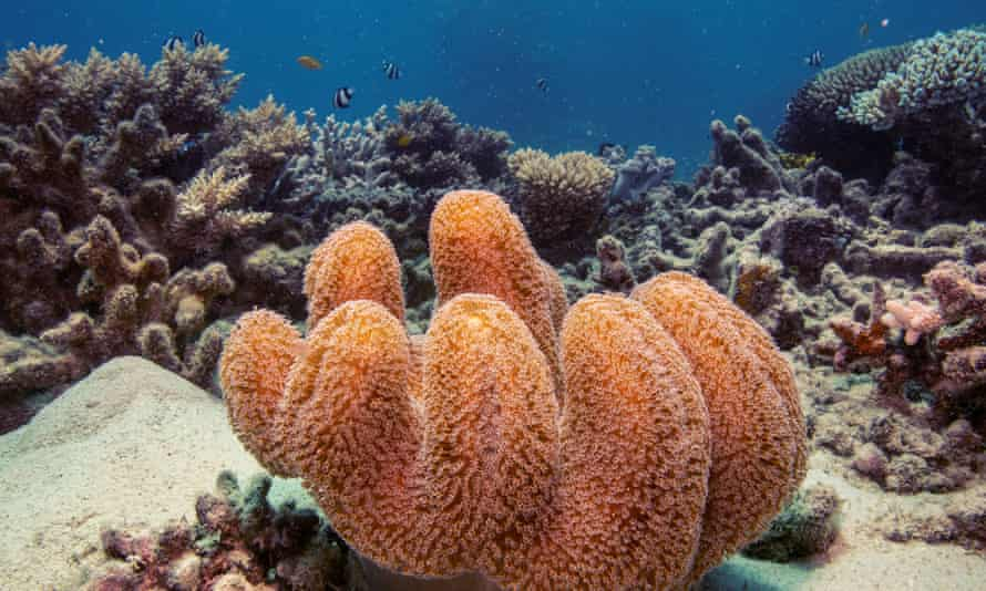 A colony of mushroom leather coral grows on the Great Barrier Reef