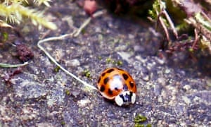 A harlequin ladybird in a tiny woodland of moss.