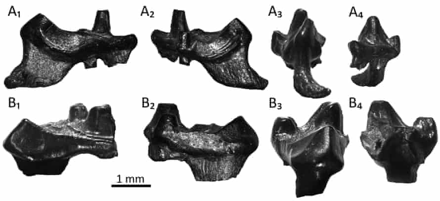 Two fossil teeth of the Purbeck Mesozoic mammals,  Durlstotherium (A1-4) and Durlstodon (B1-4), named after Durlston Bay in Dorset. These Jurassic mammals are ancestors to placental mammals, and are oldest of their kind found in Europe.