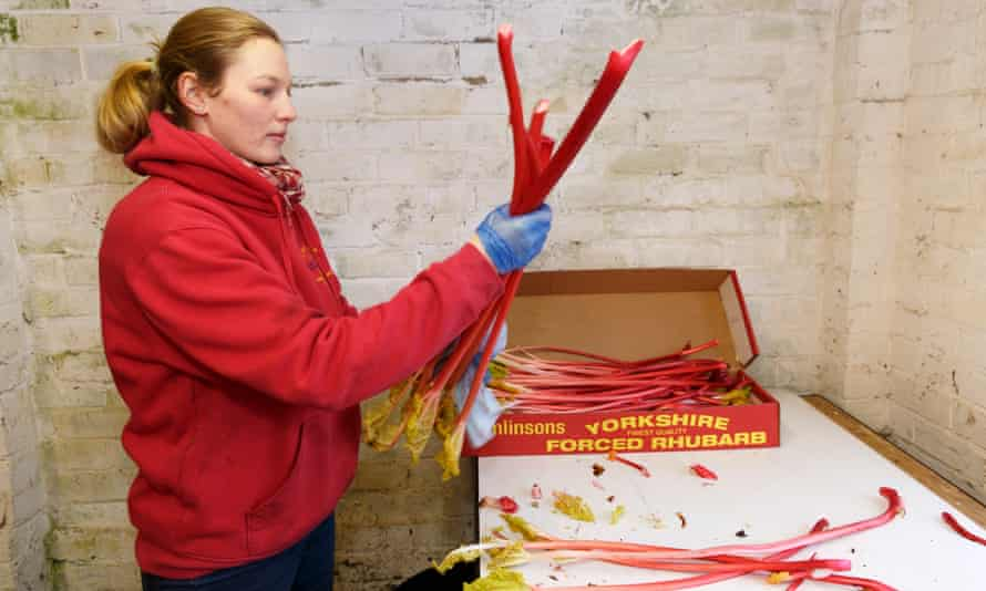 May the forced be with you: a woman packs up subtly flavoured, gorgeously colourful rhubarb at Tomlinson's.