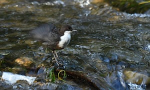 Dipper preening and singing on the River Wye