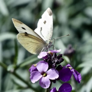 A green-veined white butterfly.